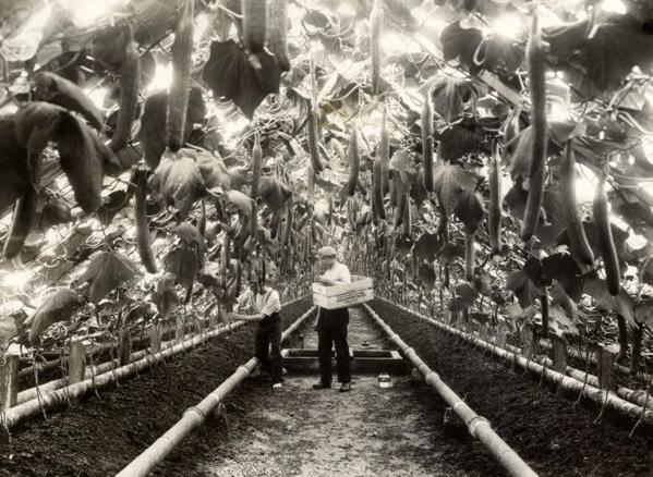 Mannen plukken komkommers in overvolle kassen. Plaats onbekend, circa 1932.